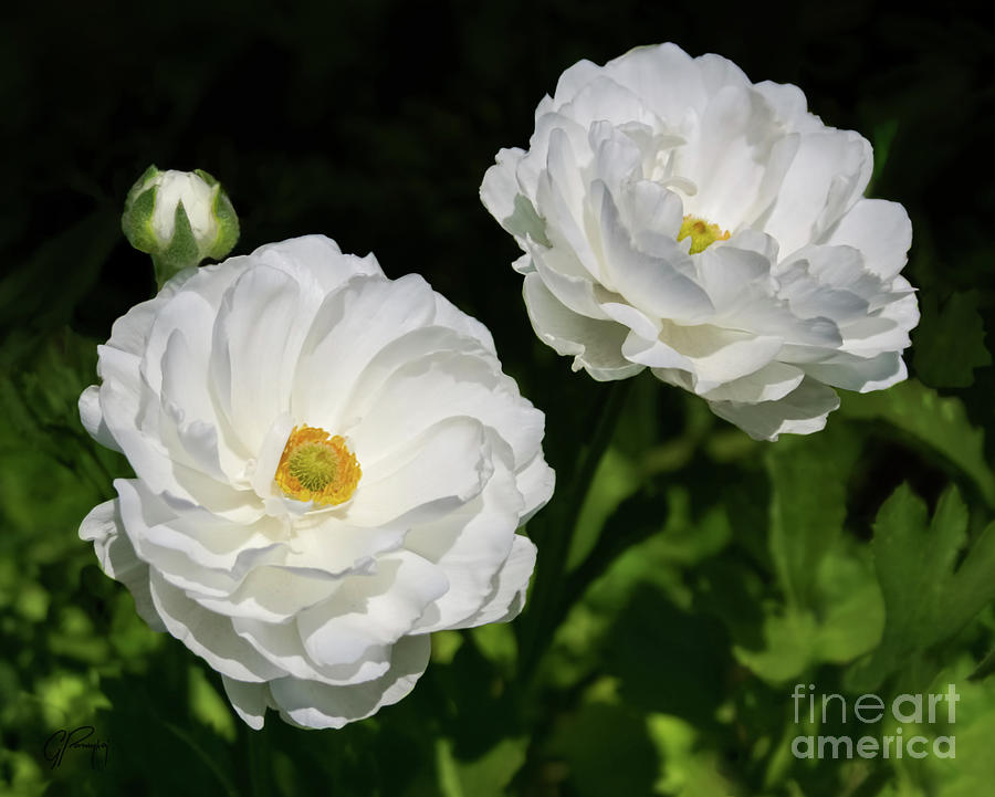 Ranunculus white flowers photograph by gabriele pomykaj ranunculus photograph ranunculus white flowers by gabriele pomykaj mightylinksfo