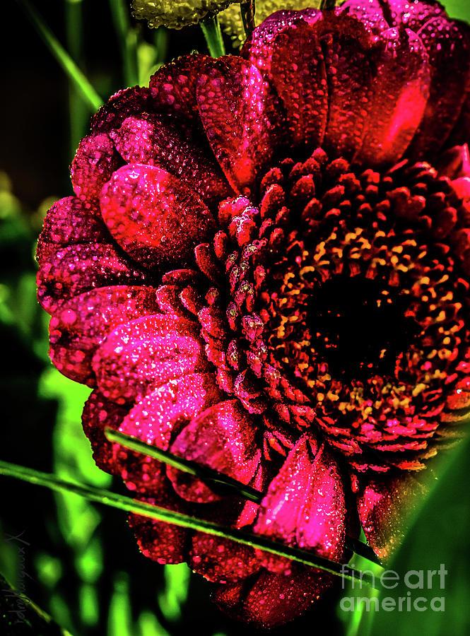 Raspberry Gerberay Photograph