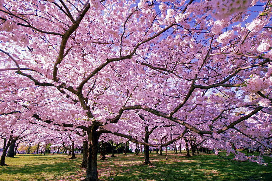 Cherry Blossoms Photograph - Rapt Away by Mitch Cat