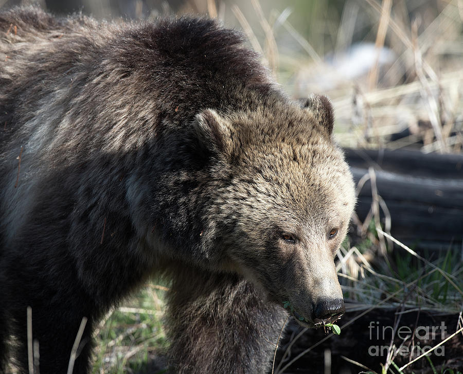 Grizzly Bear Photograph - Raspberry Up Close 2 by Connie Troutman