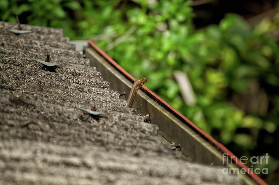 Yellow Snake Photograph - Rat Snake by Venura Herath
