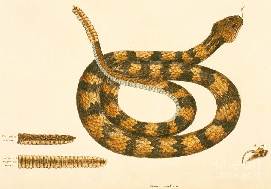 Rattlesnake Drawing - Rattlesnake by Mark Catesby