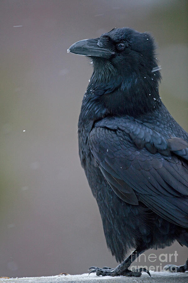 Raven Photograph - Raven In Snow by Tim Grams
