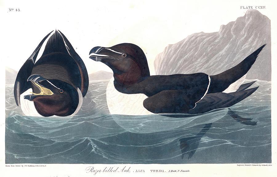 Watercolor Painting - Razor Billed Auk by John James Audubon