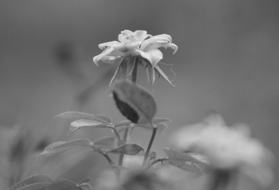 Miniature Rose Photograph - Reach Black and White Photograph of a Miniature Rose by Colleen Cornelius