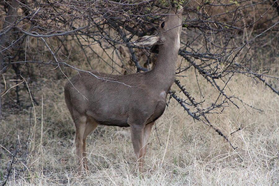 Deer Photograph - Reach by Colleen Cornelius