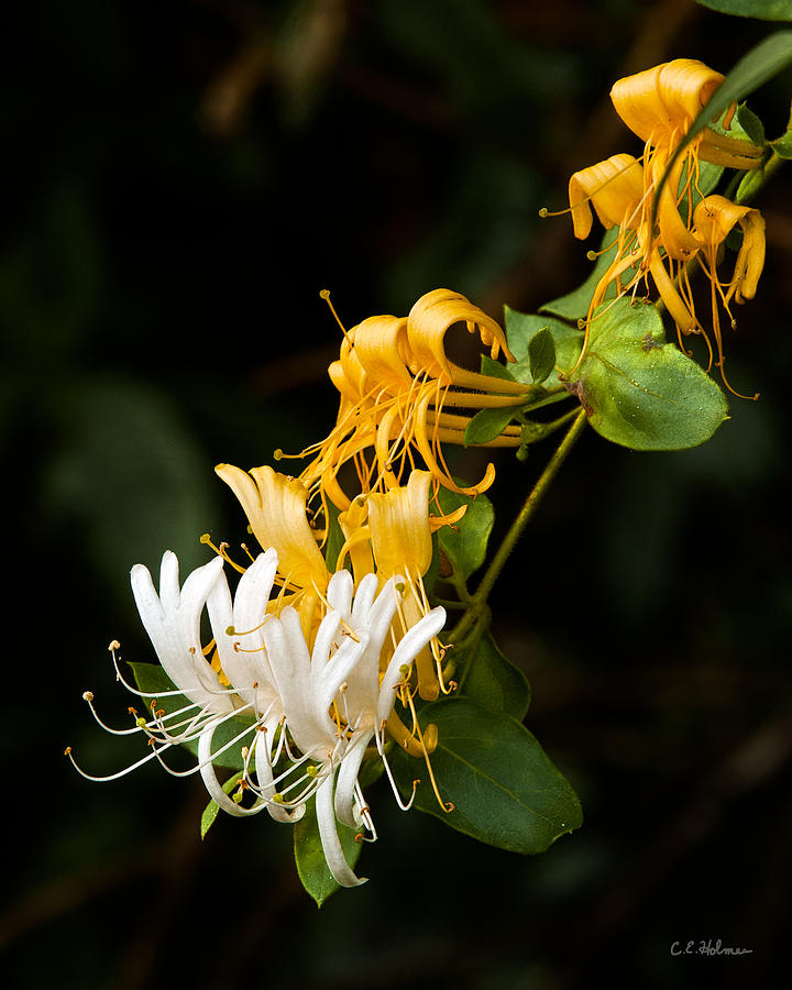 Flowers Photograph - Reaching by Christopher Holmes