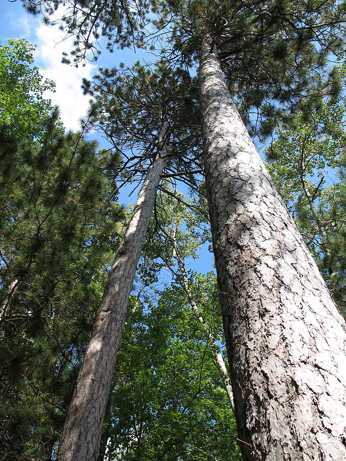 Trees Photograph - Reaching For The Heavens by Cathy Weaver