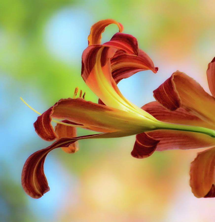 Reaching Out - Daylilies by MTBobbins Photography