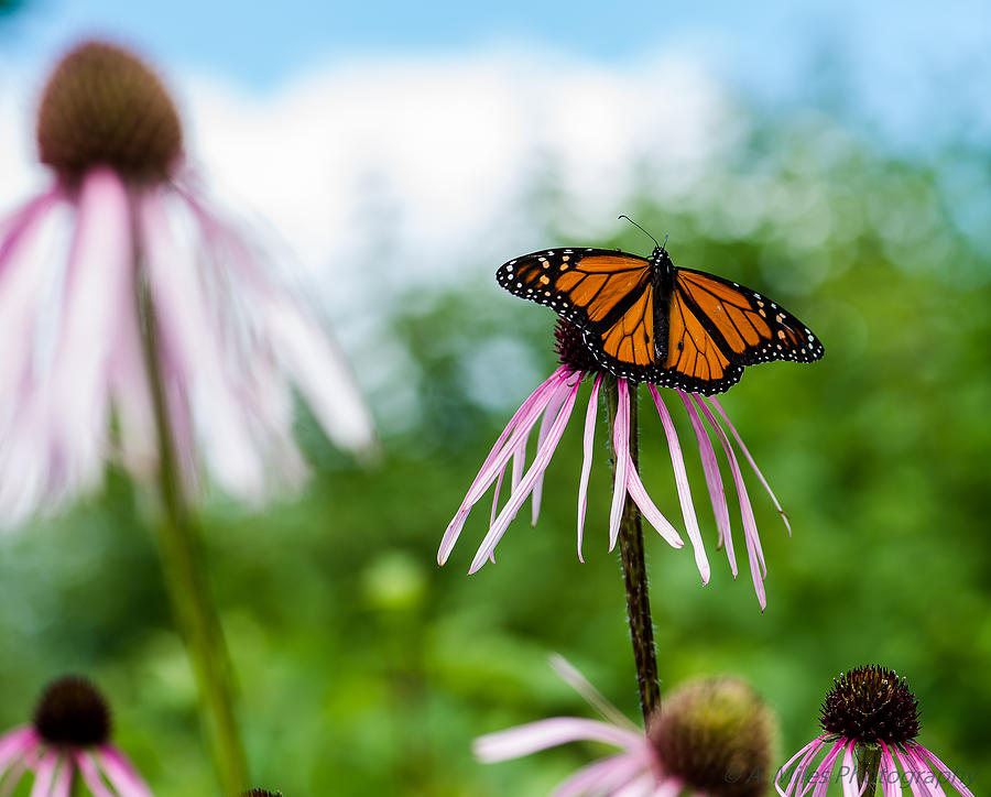 Monarch Photograph - Ready For Departure by Andrew Miles