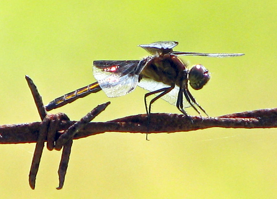 Dragonfly Photograph - Ready For Takeoff by Lonnie Tapia