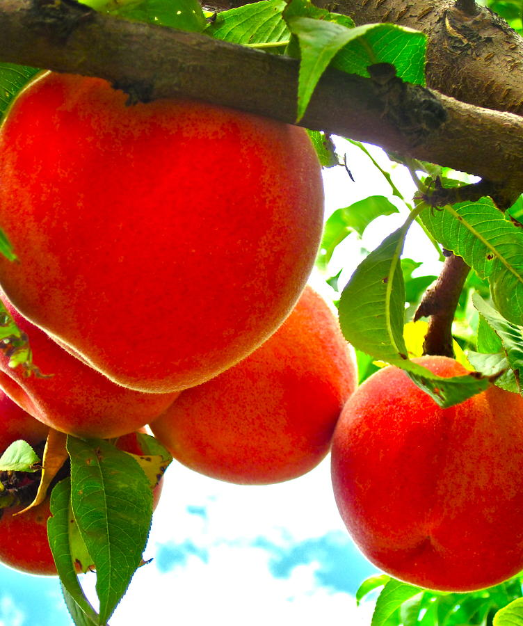 Peach Tree Photograph - Ready To Pick by Gwyn Newcombe