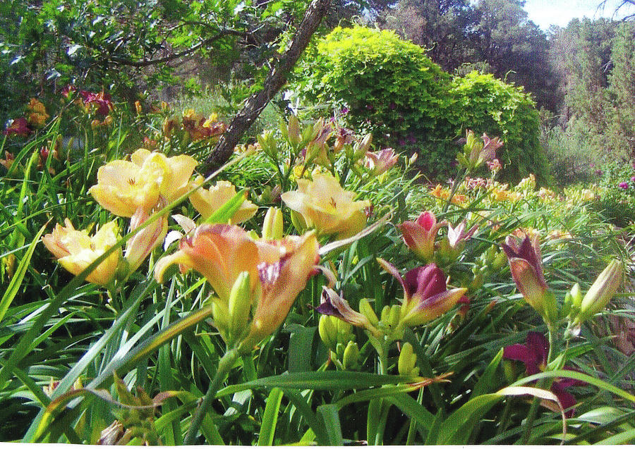 Cottage Garden Photograph - Really Big Bunch Of Lilies by P Maure Bausch