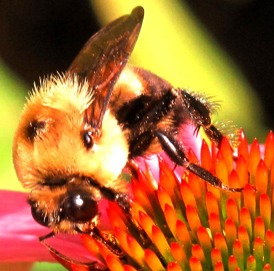 Bee Photograph - Really Getting Into It by Ian  MacDonald