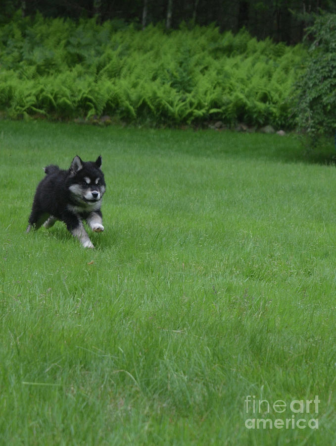 Really Sweet Alusky Puppy Dog Running In Green Grass Photograph By