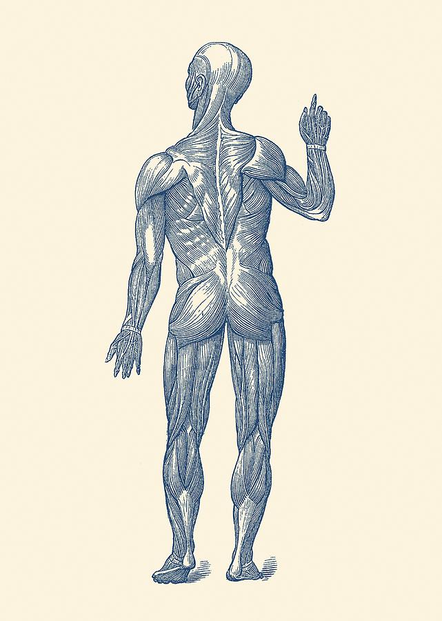 Rear View Human Muscle System Vintage Anatomy Drawing By Vintage