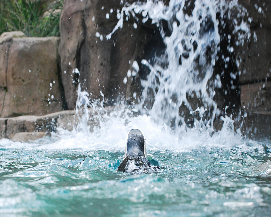 Penguin Photograph - Rear View Penguin by Maggy Marsh