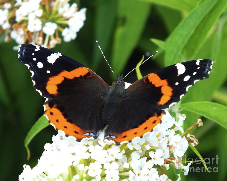 Artwork Photograph - Red Admiral - Topwings by Cindy Treger