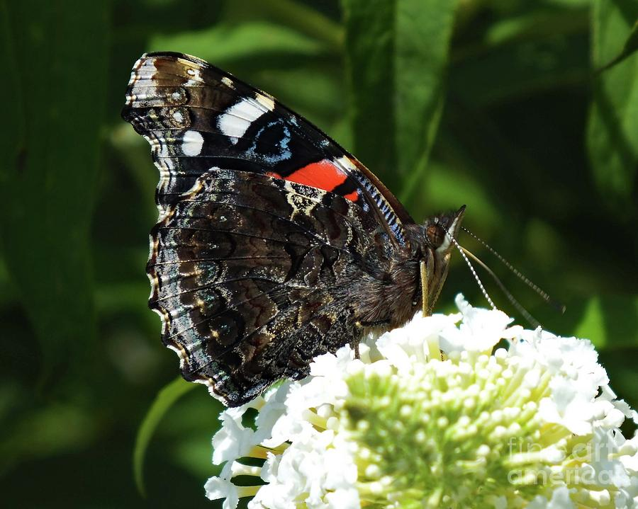 Artwork Photograph - Red Admiral - Underside by Cindy Treger