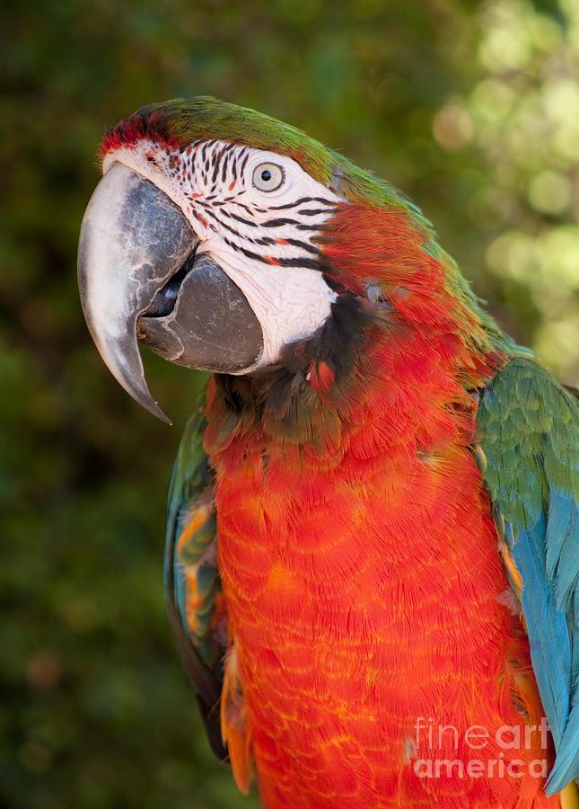 Ara Photograph - Red-and-green Macaw by Svetlana Ledneva-Schukina