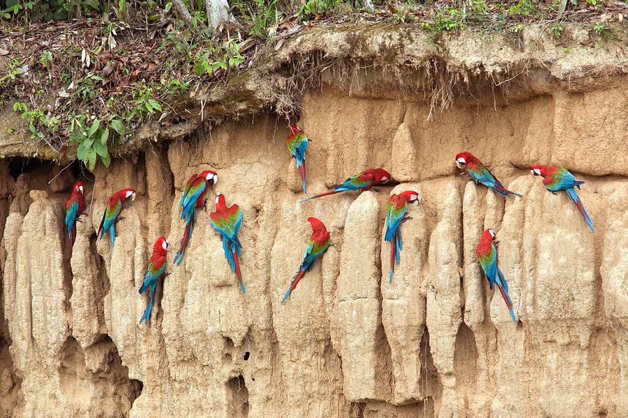 Red And Green Macaws Eating Minerals Photograph