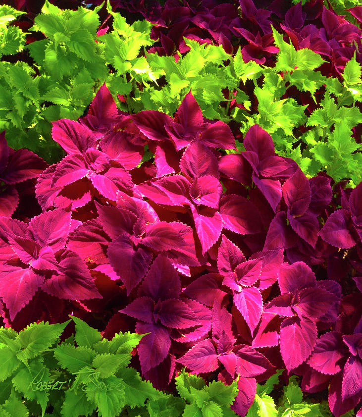 Red And Lime Green Coleus Photograph By Robert J Sadler