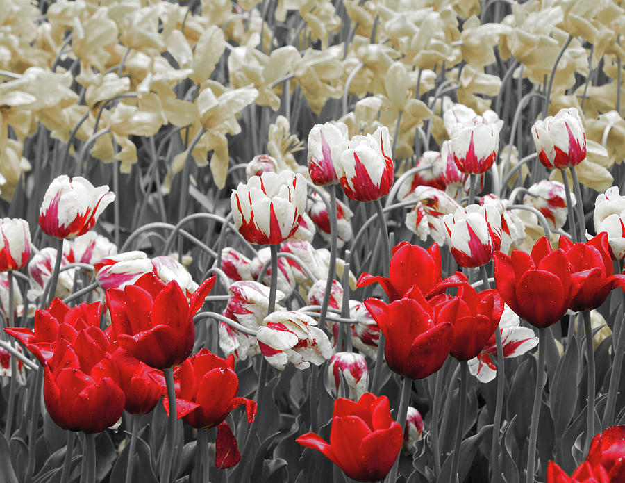 Red Photograph - Red And White by Diane Shirley