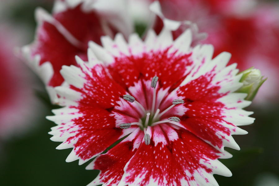 Red and white flower by Tim Stanley