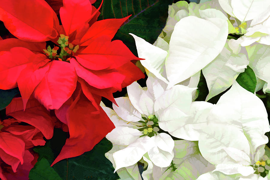 Red And White Poinsettias Photograph By Regina Geoghan