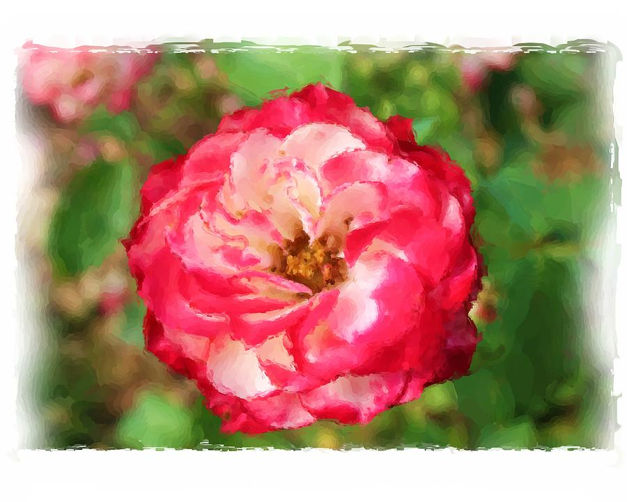 Red Photograph - Red and White Rose by Maria Freeman