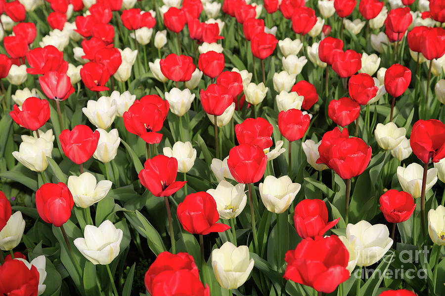 Tulips Photograph - Red And White by Tracy Hall