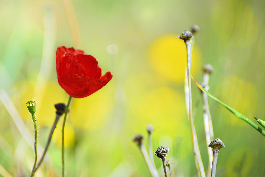 Poppy Photograph - Red And Yellow by Guido Montanes Castillo