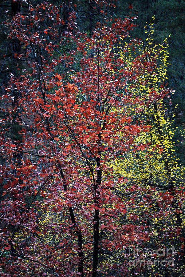 Landscape Photograph - Red And Yellow Leaves Abstract Vertical Number 1 by Heather Kirk