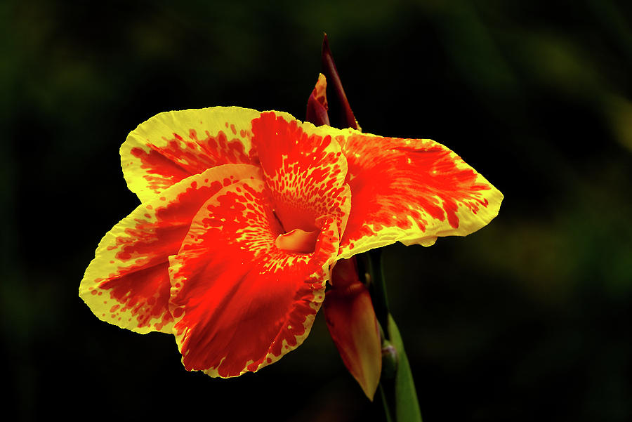 Red and yellow single flower by Vincent Billotto