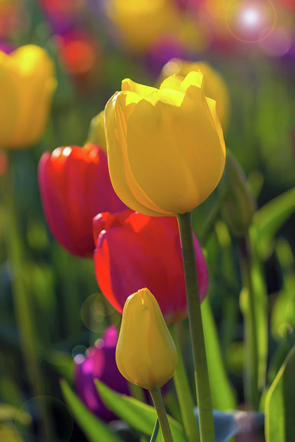 Tulip Photograph - Red And Yellow Tulips Closeup by David Gn