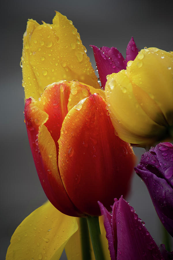 Red and Yellow Tulips by Ken Dietz