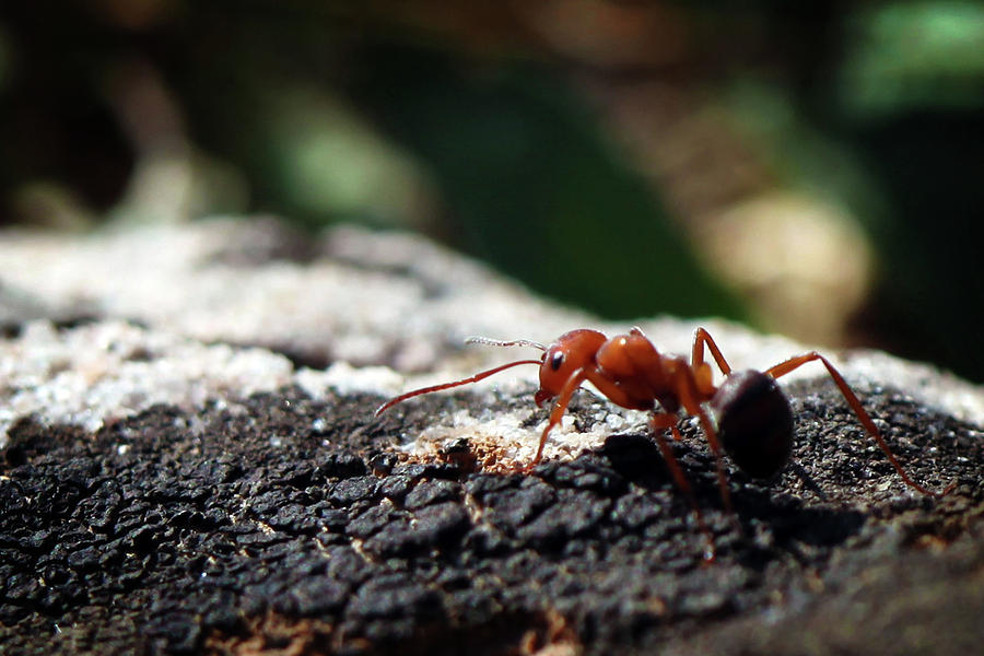 Ant Photograph - Red Ant Close-Up by Dan Pearce