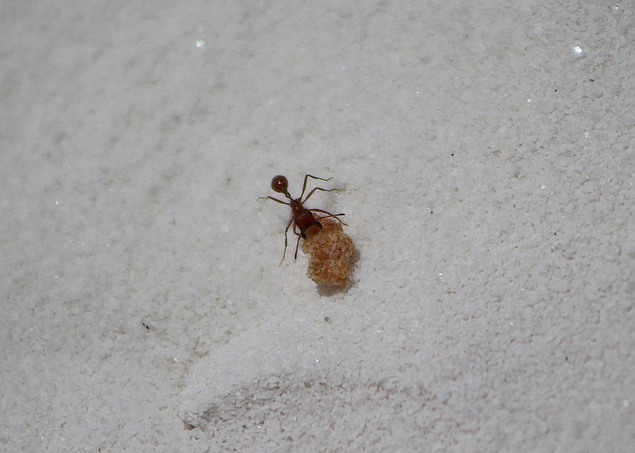 New Mexico Photograph - Red Ant with Cornflake by Colleen Cornelius