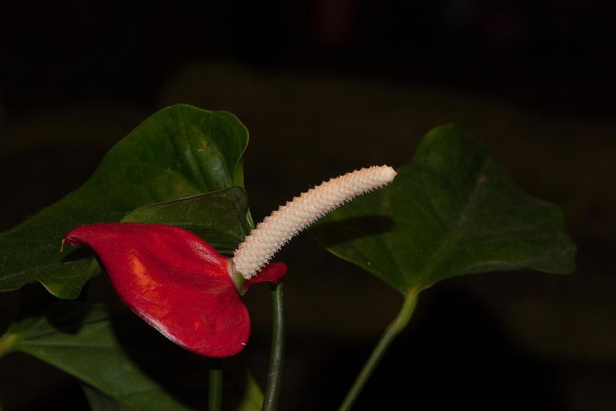 Blossoms Photograph - Red Anturium by Craig Hosterman
