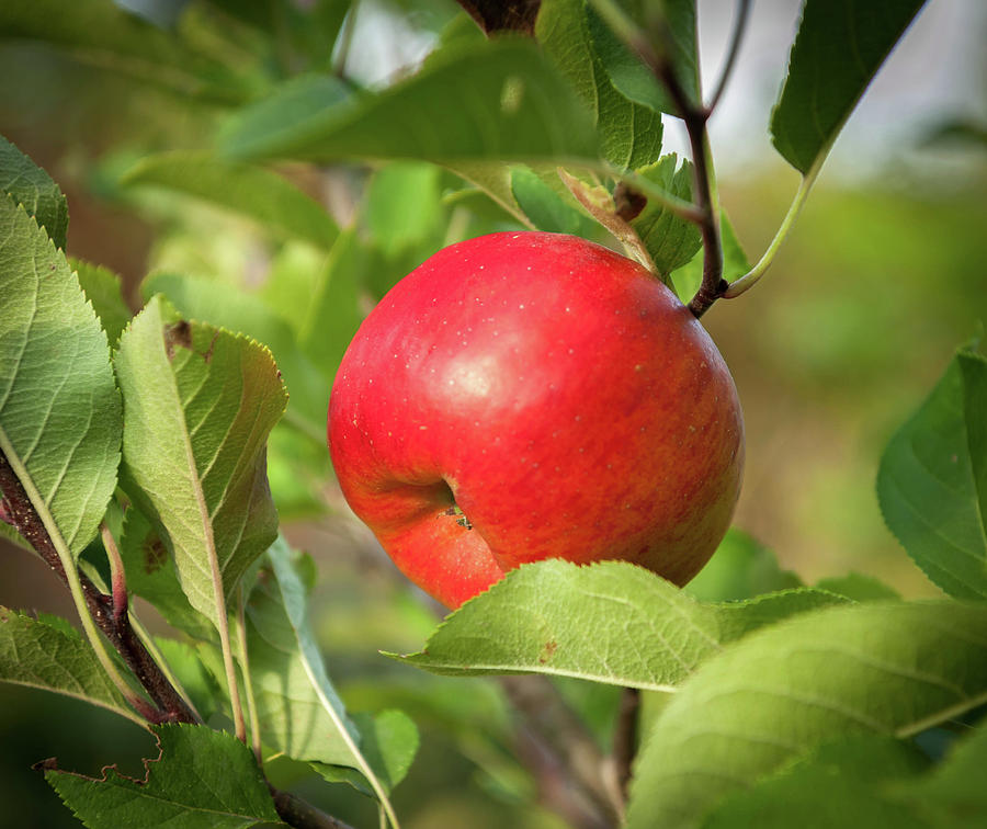 Apple Photograph - Red Apple On A Tree by Stefan Rotter