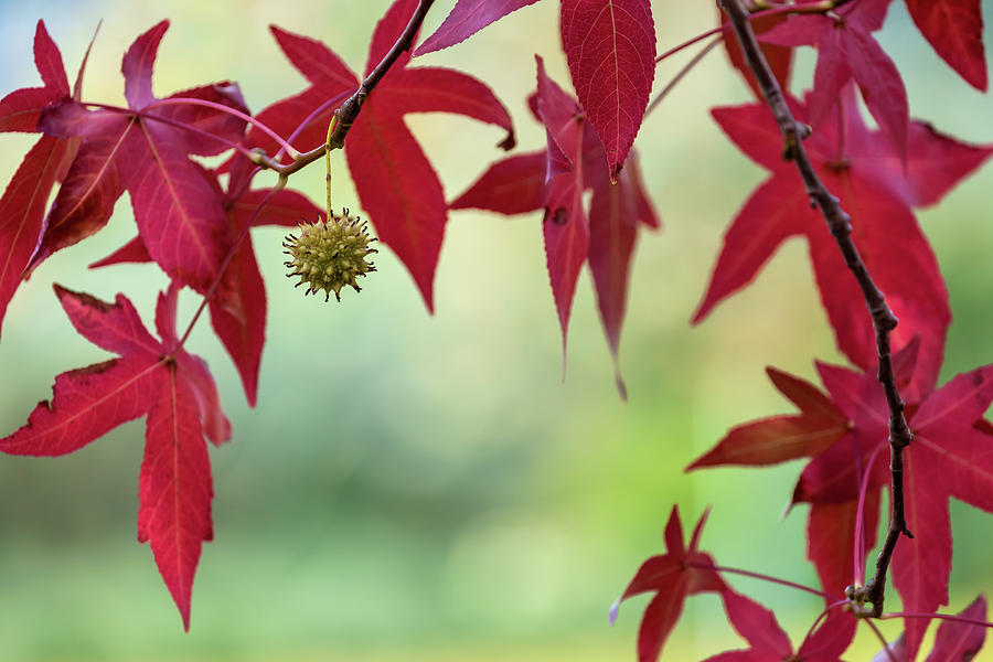 Red Autumn Leaves Photograph