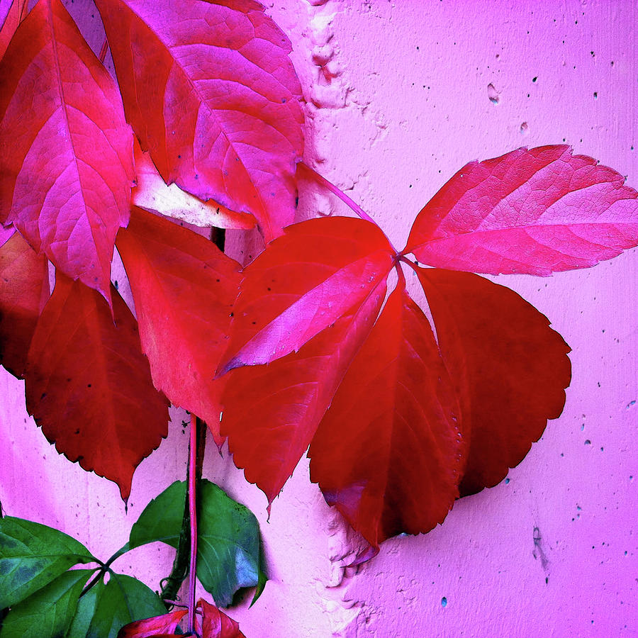Red Photograph - Red Autumnal Leaves And Purple Wall by Matthias Hauser