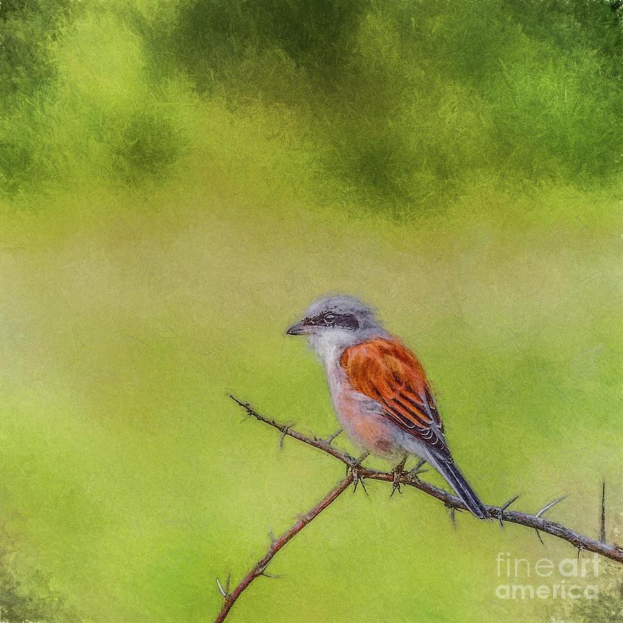 Red-backed Shrike by Liz Leyden