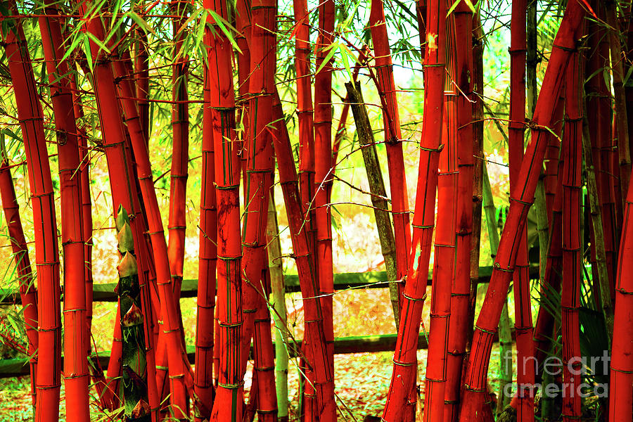 Bamboo Photograph - Red Bamboo by Eluv
