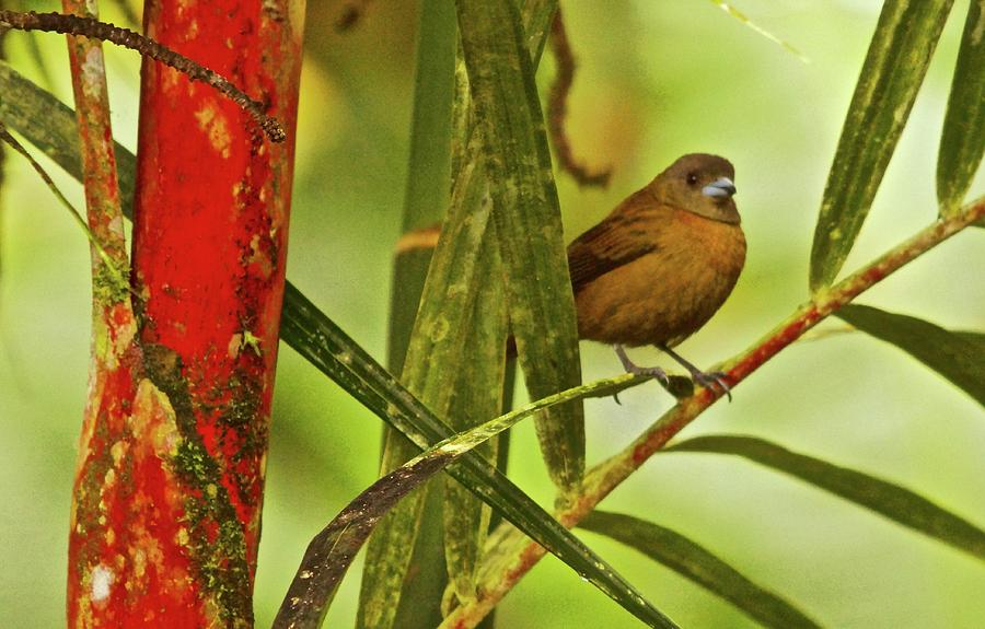 Red Bamboo Female Scarlet-romped Tanger Costa Rica Photograph