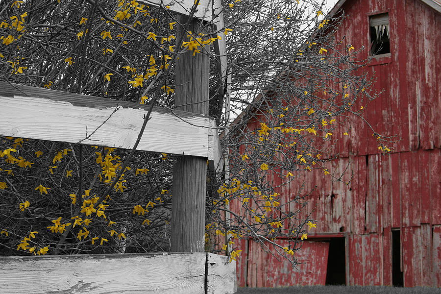 Landscape Photograph - Red Barn And Forsythia by Dylan Punke