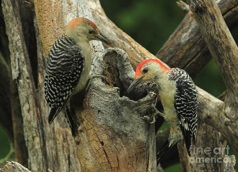 Red-bellied Woodpecker Photograph - Red-bellie Parenting by Gail Huddle