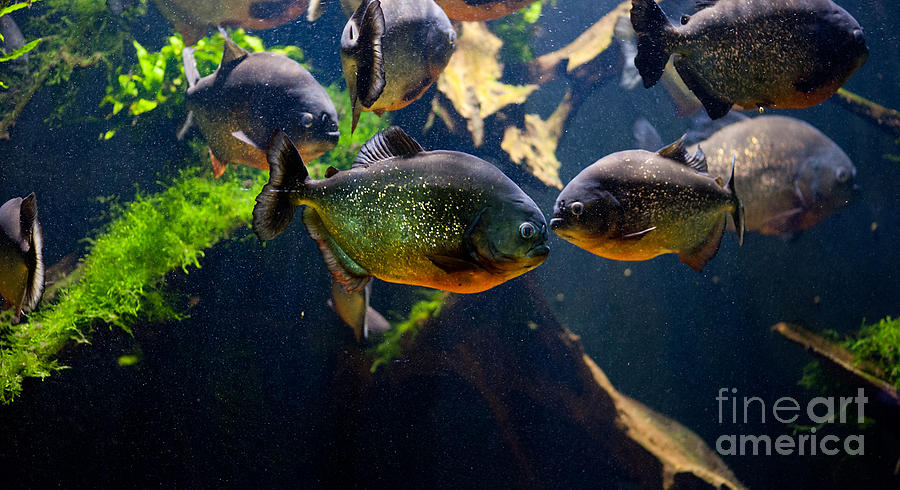 Red Bellied Piranha Or Red Piranha Photograph