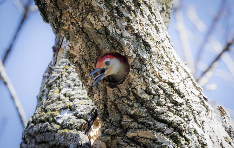 Canon Photograph - Red Bellied Woodpecker Doing a Bit of House Work by Ricky L Jones