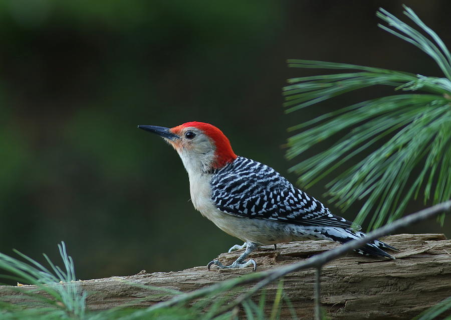 Red-Bellied Woodpecker In The Pines by Daniel Reed